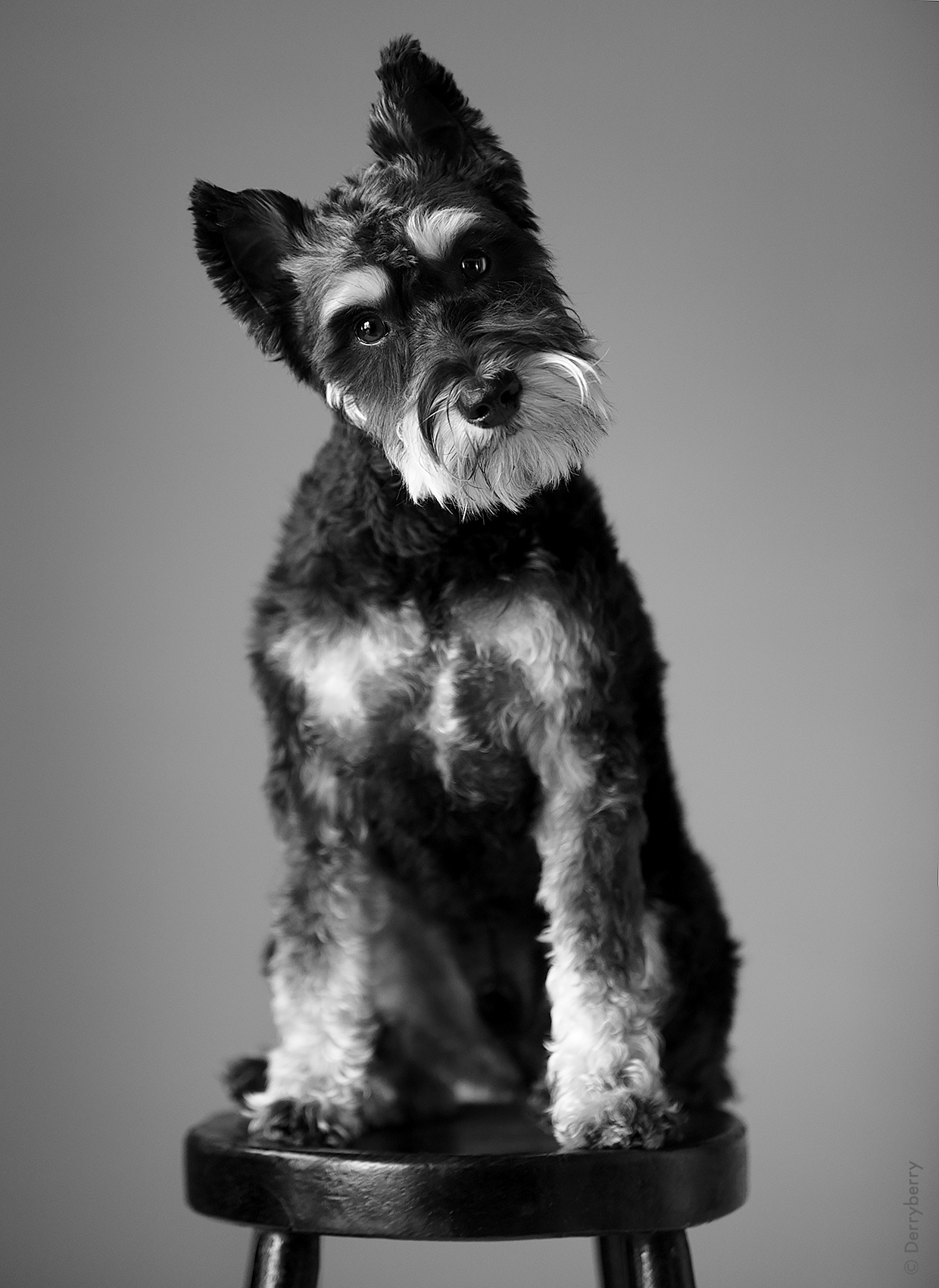 Pet dog portrait of the Peloza dog, a schnauzer sitting on a stool, in the studio,  in Dallas, Texas by photographer John Derryberry Photography